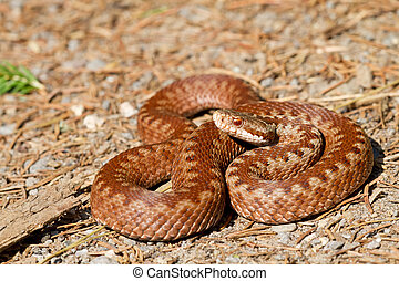 Vipera berus - One specimen of Vipera berus, common European...