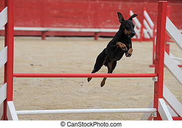 Manchester Terrier in agility - portrait of a purebred...
