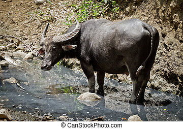 water buffalo in Rinca Island, Indonesia