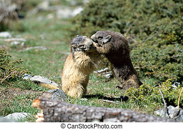 Two marmots fighting face to face in French Alps
