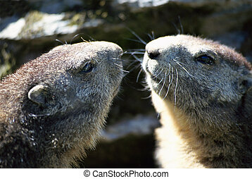Two heads of marmots face to face - Two marmots face to face...
