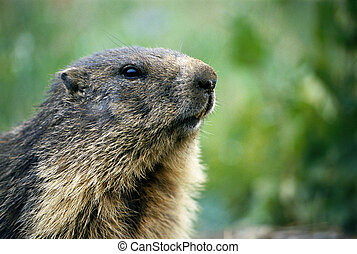 Close view of a marmot head with some pieces of land on...