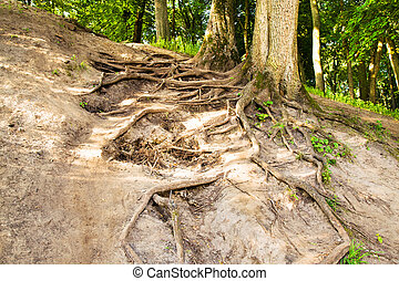 Tree roots - Roots of the tree growing on a height being in...
