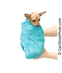 Bathtime of little puppy of a russian toy terrier. The dog...