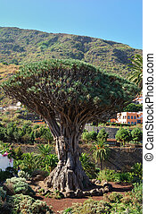 Dragon tree in Icod de los Vinos - The famous Dragon tree in...