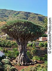 Dragon tree in Icod de los Vinos - The famous Dragon tree in...