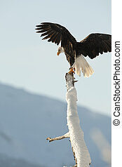 The Bald Eagle (Haliaeetus leucocephalus)