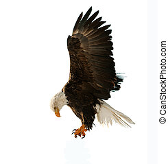 The Bald Eagle (Haliaeetus leucocephalus) - BALD EAGLE (...