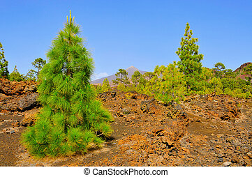 a pine grove with Teide volcano in the background in Teide National Park, Tenerife, Canary Islands, Spain