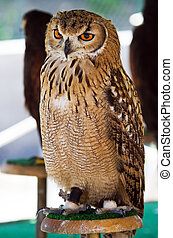 Wild owl orange eyes - Orange eyes wild owl perched on a...