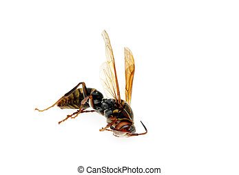 Dead hornet on white background