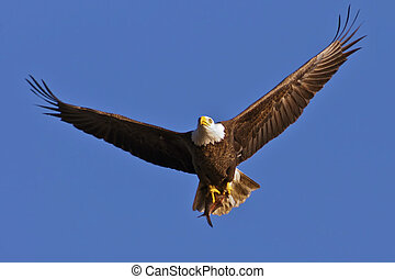 Bald Eagle with Fish - Bald Eagle in flight with fresh...