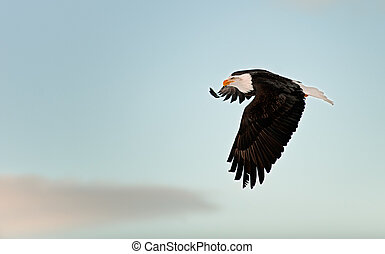 Flying Bald eagle. A flying Bald eagle against snow-covered...