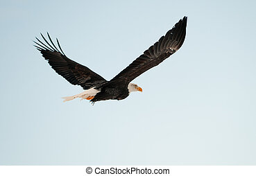 Flying Bald eagle. A flying Bald eagle againstblue sky....