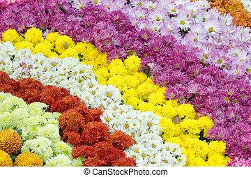 colorful chrysanthemum flower - color chrysanthemum flower