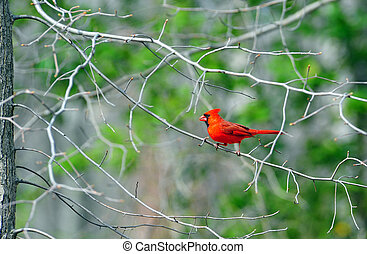 Red male Cardinal on a branch
