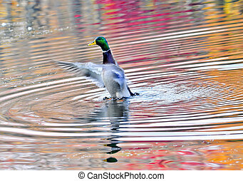 Duck on an Autumn pond in the Chesapeake Bay Maryland