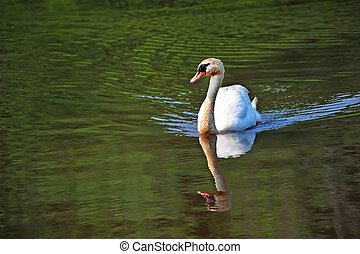 Mute Swan on green water pond near Chesapeake Bay - A mute...