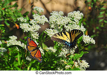 Monarch and Swallowtail Butterflies on milkweed plants - A...