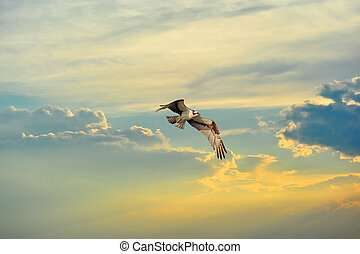 Osprey flying in clouds at sunset - An Osprey flying in the...
