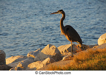Great Blue Heron at sunset overlooking the Chesapeake Bay in...
