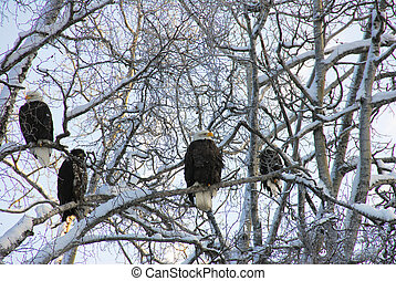 Alaskan Bald Eagles in winter