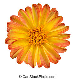 Dahlia Flower with Orange Yellow Petals Isolated on White...