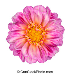 Pink White Dahlia Flower with Yellow Center Isolated
