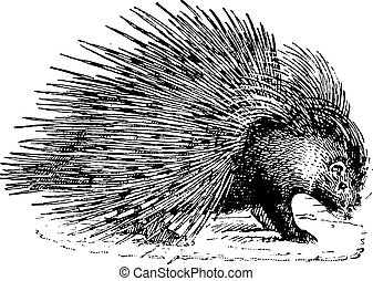 Porcupine, vintage engraving. - Porcupine, vintage engraved...