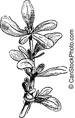 Common Purslane or Portulaca oleracea vintage engraving -...