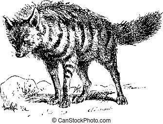 Aardwolf or Proteles cristata, vintage engraving - Aardwolf...