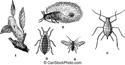 Aphids or plant lice, 1. Woolly adelgid. 2. Woolly adelgid....