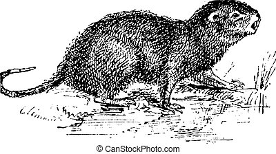 Water Rat, vintage engraving.