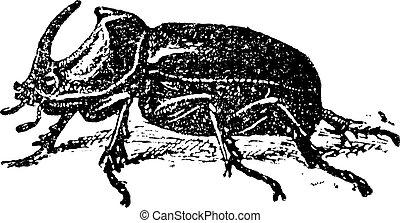 European Rhinoceros beetle Oryctes nasicornis, vintage...