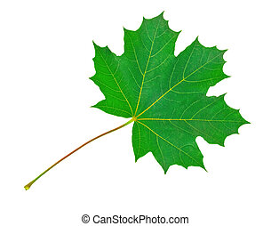 Maple Leaf - Maple leaf on white background