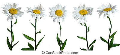 Camomiles - Five chamomile flowers on white background.