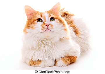 Domestic Cat isolated on white background.