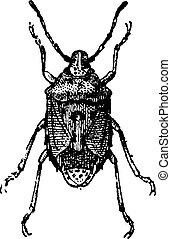 . Bug, vintage engraving.