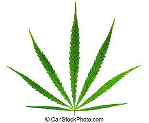 Hemp - Marijuana plant (cannabis) isolated on white...