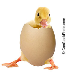 Duckling in an egg - Duckling in a shell isolated on white