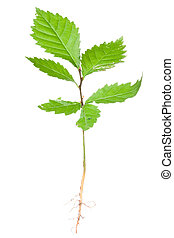 Young tree (hornbeam) - Young tree and its roots isolated on...