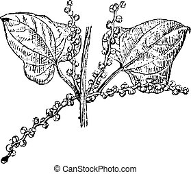 Chinese yam male flower vintage engraving - Old engraved...