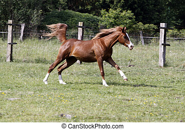 Arabian horse galloping on a pasture