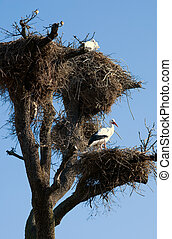 Stork nest - Storks in its nests over a clear blue sky...