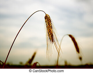 The hung ears of wheat The hunger concept