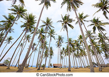 Palm Grove - Coconut palms in Lombok island, Indonesia