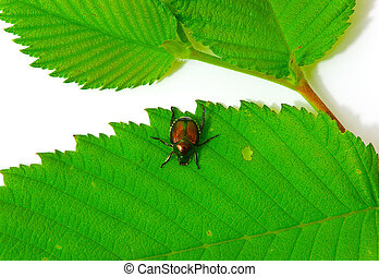 Iridescent Japanese Beetle On Leaf - Japanese Beetle On Leaf...