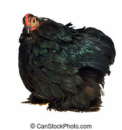 Black chicken of Cochin China breed isolated on white