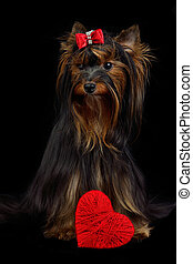 Loving Yorky dog with red heart