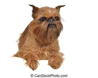 kutya, majompincsi, felül, fehér, transzparens, fekvő